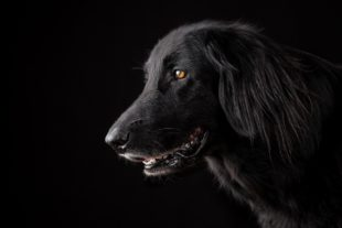 ראש של כלב